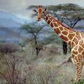 Somali Giraffe