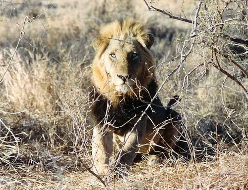 South African Wild Lion