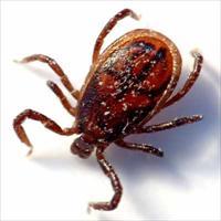 African Tick