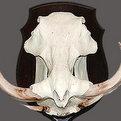 Warthog Skull Mount