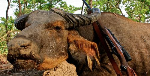Western Savanna Buffalo