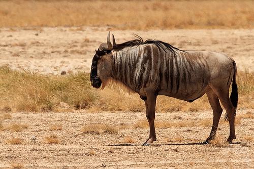 Western White-Bearded Wildebeest