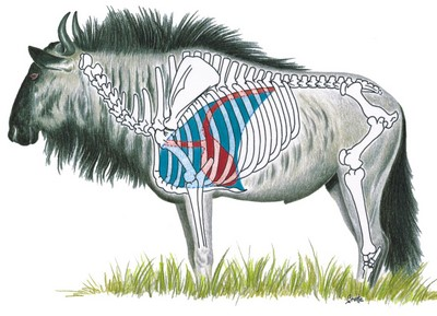 Blue Wildebeest Shot Placement